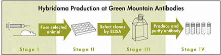 Mouse Monoclonal Antibodies: Hybridoma Development